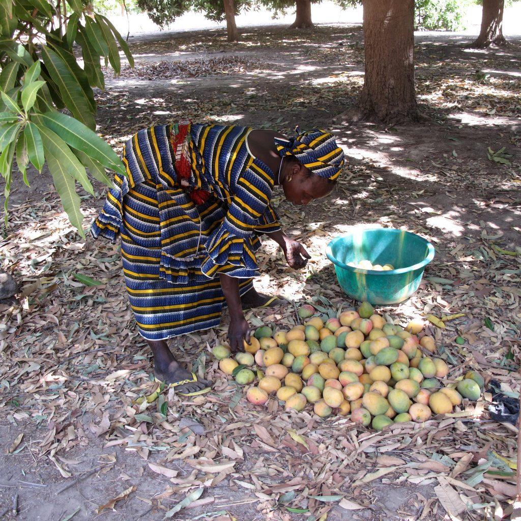 Mangos, die Ernte