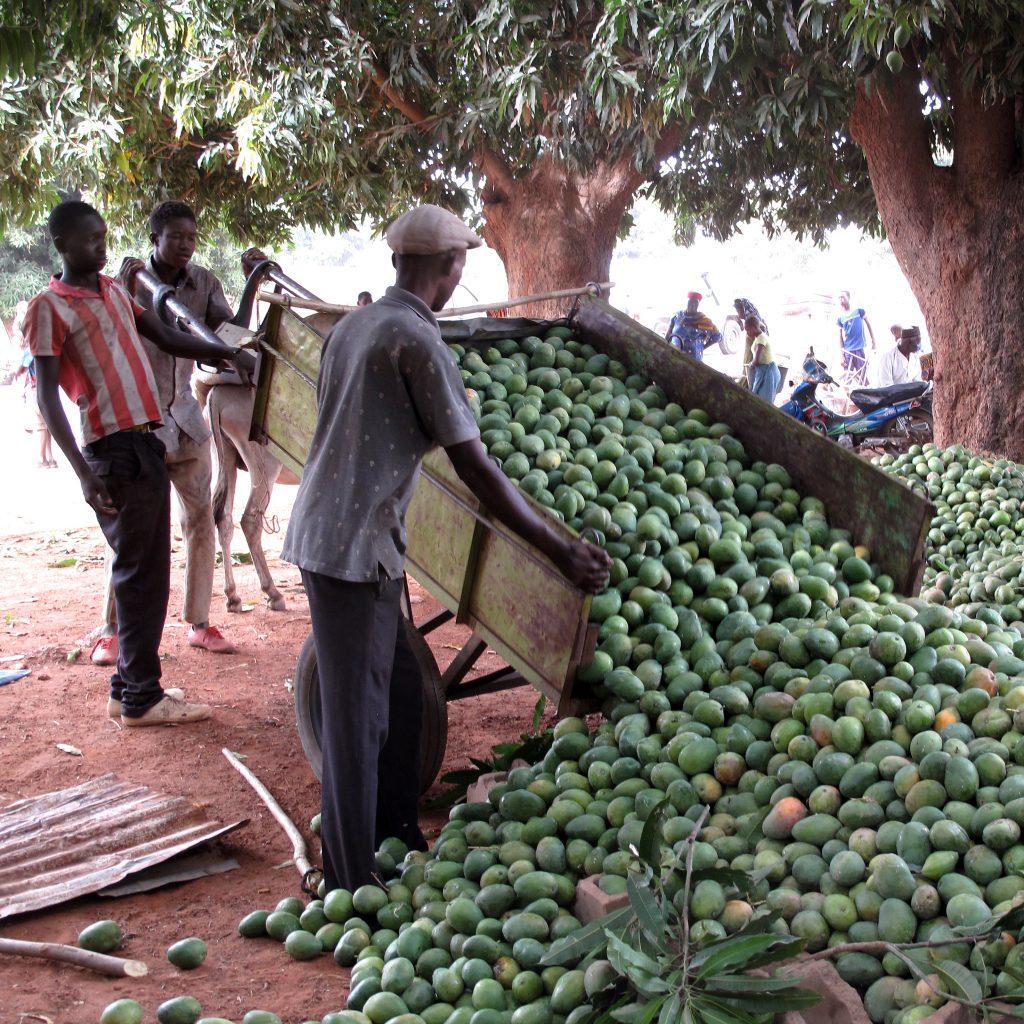 Mangos, der Direktexport
